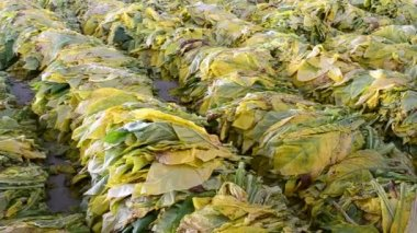 Tobacco leaf form farm wait for bake in factory — Stock Video