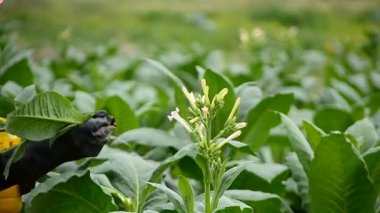 Farmer pick tobacco flower in farm plant — Stock Video