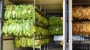 Before and after of tobacco leaf in stove factory — Stock Video