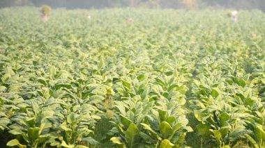Tobacco plant and farmer remove tobacco leaf form country farm — Stock Video