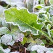 Time lapse frost on leaf melting — Vídeo Stock