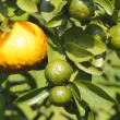 Ripe and raw orange on tree in garden plant — Stock Video #43284987