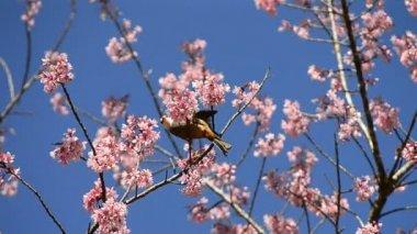 ładny ptaszek jedzenie nektar wiśniowy kwiat drzewa — Wideo stockowe