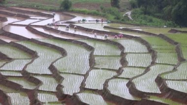 Farmers working plant rice in terrace farm land and raining of thailand — Stock Video