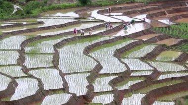 Bitki pirinç Teras arazi ve Tayland yağmur çalışan çiftçi — Stok video