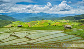 Beautiful Terrace Rice Farm Of Pa Bong Peang Ching Mai, Thailand — Stock Photo