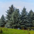 Stock Photo: Evergreen