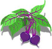 Juicy purple beet — Stock Vector