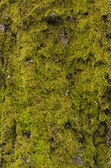 Texture of Old moss — Stock Photo