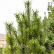 Fir branches - Foto Stock