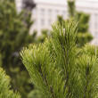 Ever-green branches fir — Stock Photo