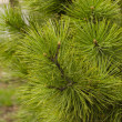 Ever-green fir branches - 图库照片
