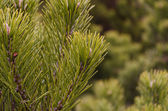 Fir branches with prickly needles — Stock Photo