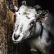 Stock Photo: Gray smiling goat