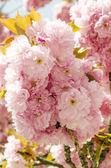 Sakura bloom — Foto de Stock