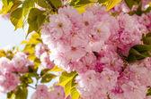 Fiore di sakura — Foto Stock
