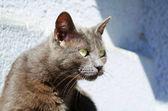 Dark ashy gray cat  — Стоковое фото