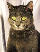 Dark ashy gray cat  — Stock Photo