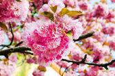 Sakura bloom — Stok fotoğraf