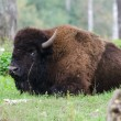 Stock Photo: American bison