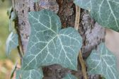 Green ivy leave — Foto Stock