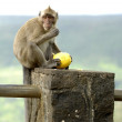 Stock Photo: Wild monkey at Mauritius