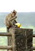 Wild monkey at Mauritius — Stock Photo