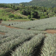 Stock Photo: Pineapple Farm field