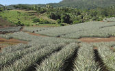 Pineapple Farm field — Stock Photo