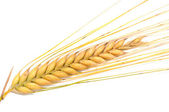 Barley in front of a white background — Stock Photo