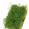 Stock Photo: Cress seedlings are often used as condiment for cooking