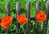 Red poppy in bright sunshine — Stock Photo