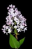 Lightg blue lilac — Stock Photo