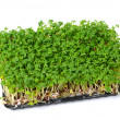 Cress — Stock Photo #13608763