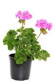 Pelargonolja — Stockfoto