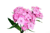 Sweet william flower — Stock Photo