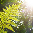 Fern in sunlight — Stock Photo