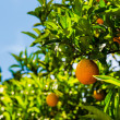 Oranges on a citrus tree. — Stock Photo #32480571