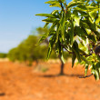 Olive tree — Stock Photo #32480595