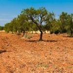 oliwek plantage — Zdjęcie stockowe #32480599