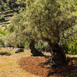 Olive tree in plantage — Stock Photo