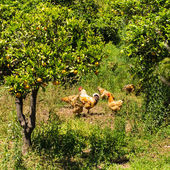 Flock of brown free range chicken in an orchard on a farm. — Stock Photo