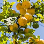 Lemons on tree — Stock Photo