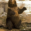 Brown bear in zoo — Stock Photo