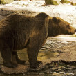 Brown bear in zoo — Stock Photo #13270515