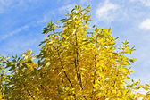 Autumn willow leaves texture and blue sky — Stock Photo