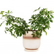 Houseplant schefflera arboricola in brown clay flowerpot, isolat - Stock Photo
