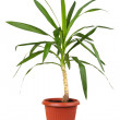 Houseplant dracaena in brown flowerpot, isolated — Stock Photo