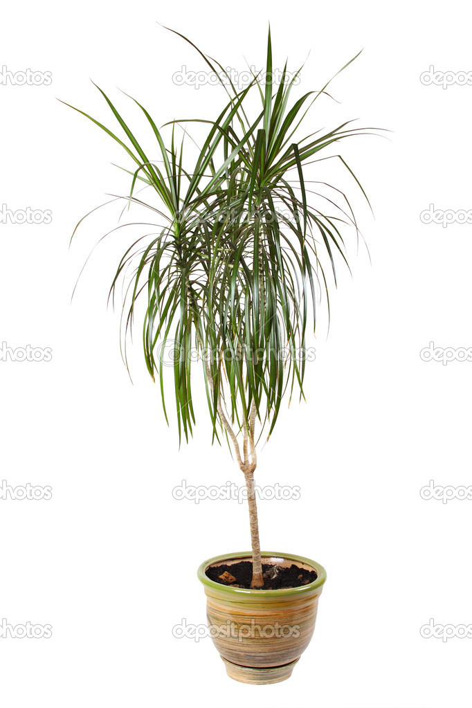 Dracaena Marginata Madagascar Dragon Tree  Our House Plants