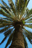 Branches of palm tree, blue sky — Stock Photo